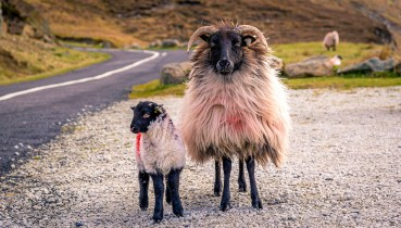 Black Faced Sheep of Achill Island