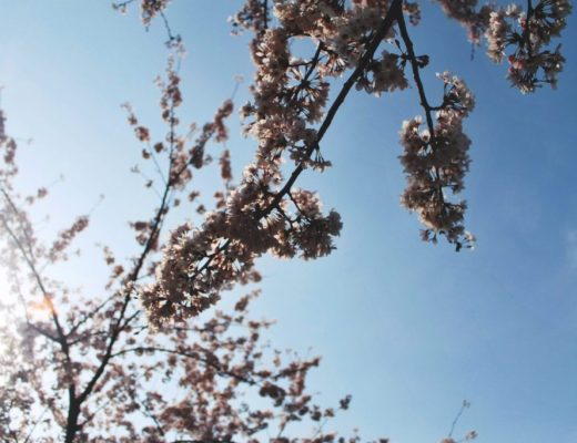 Korean cherry blossom - title