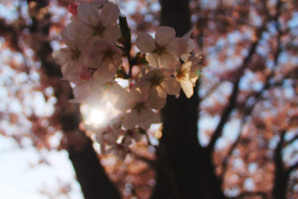 Close-up of a Korean cherry blossom