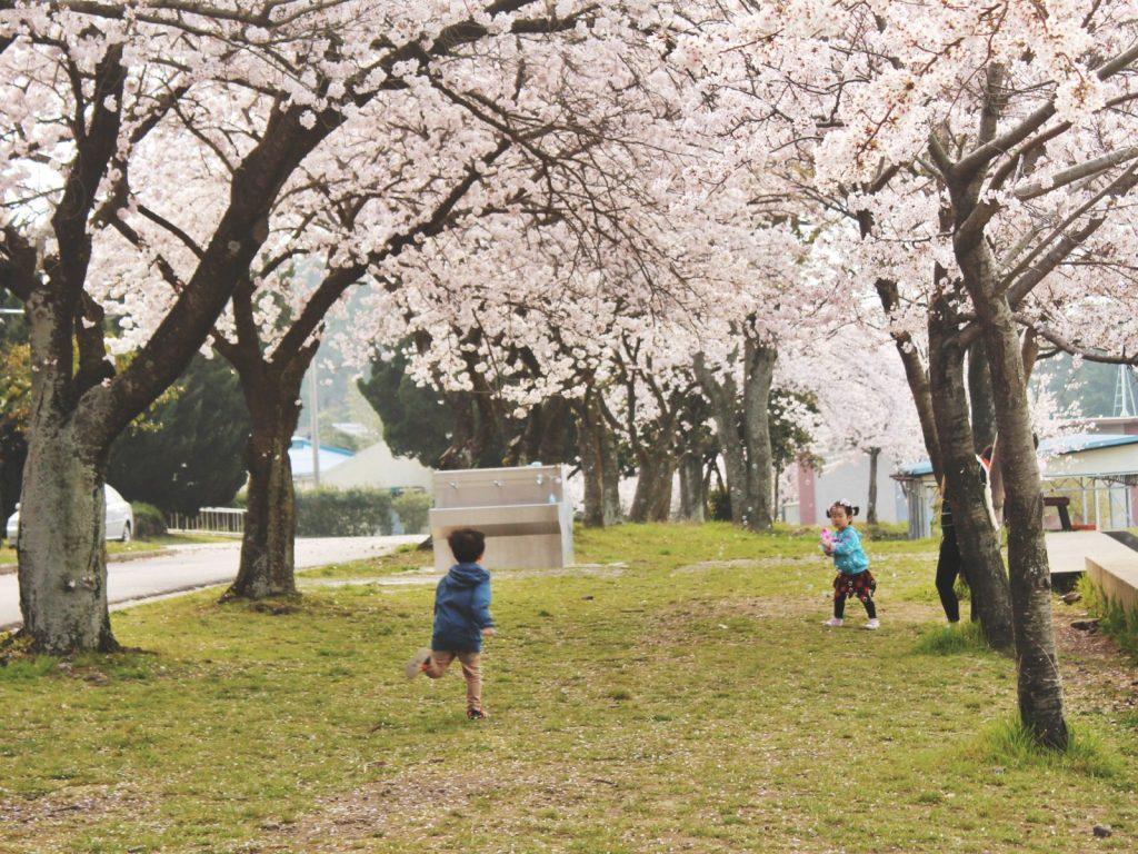Korean cherry blossom trees and cute children at Jeju High School