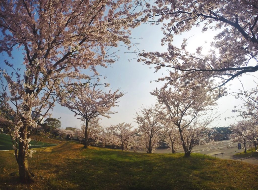 Korean cherry blossom delight in Jeju High School of Jeju Island