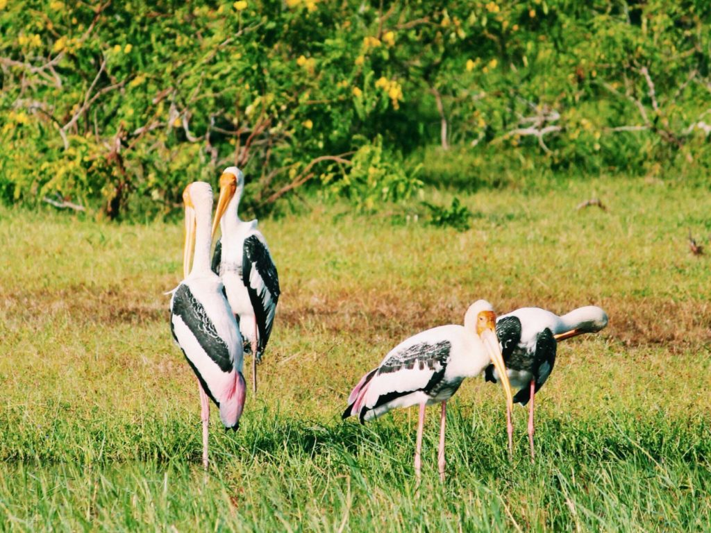 Painted Storks at Yala National Park