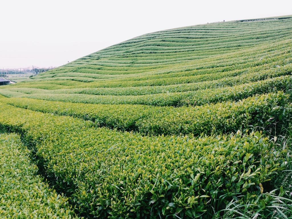 Green Tea Fields on Jeju in South Korea