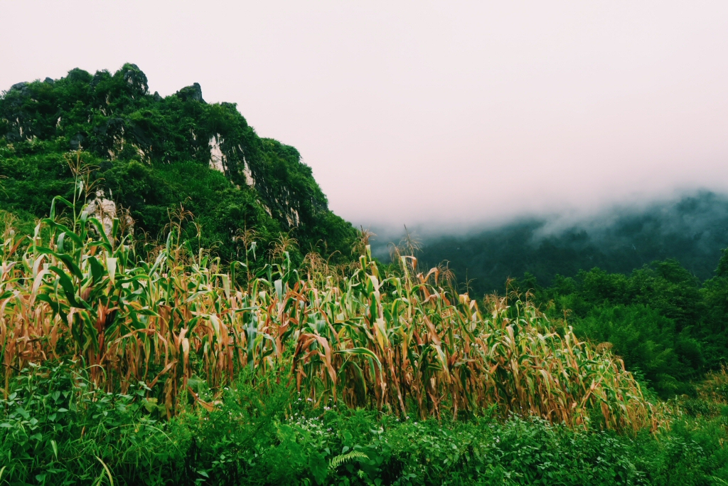 Corn fields on Sapa trek in Vietnam
