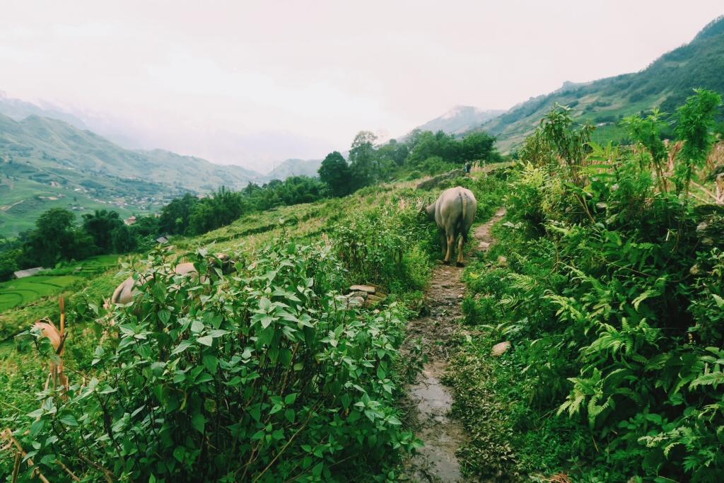 Buffalo on Sapa trek in Vietnam