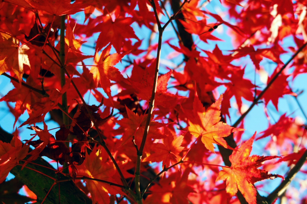 South Korea autumn leaves, vibrant red