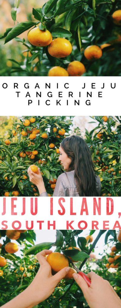 Jeju Tangerine, Jeju Island, South Korea