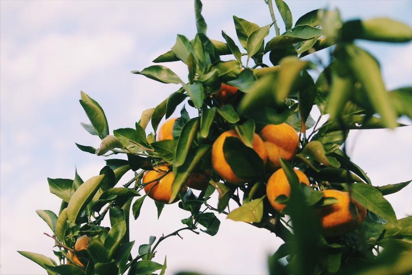Jeju Tangerines, South Korea