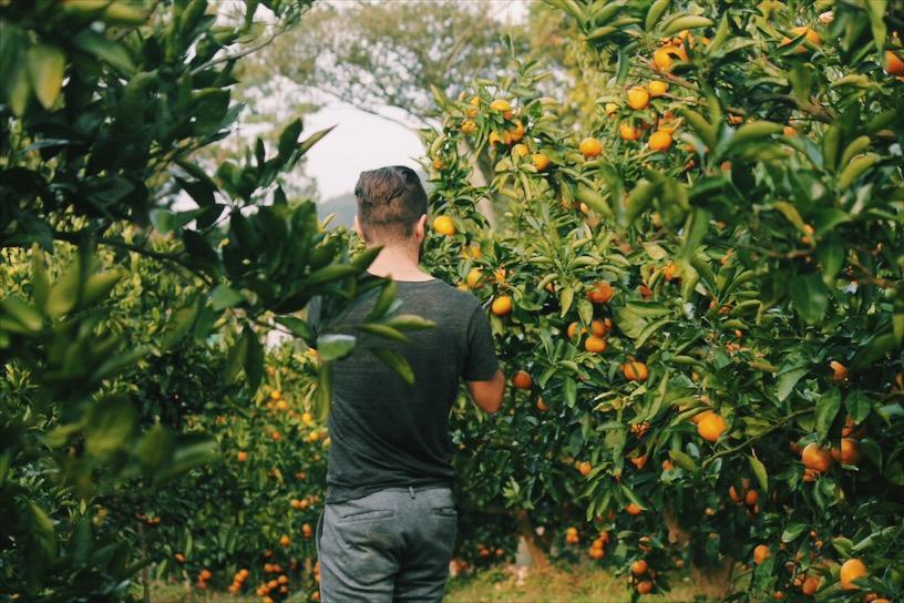 Picking Jeju Tangerine Oranges
