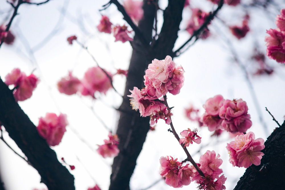 Plum blossoms in Korea for Changdeokgung Palace, Seoul