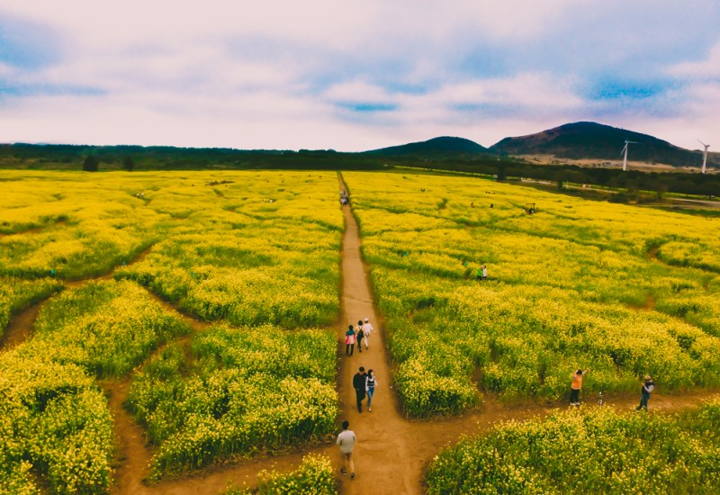 Canola Flower Fields on Jeju Island, Spring in Korea