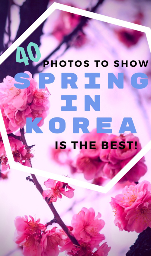 Want the best time to visit South Korea? Our photos of Korean cherry blossom and canola flower blooms may convince you to see spring in Korea for yourself!