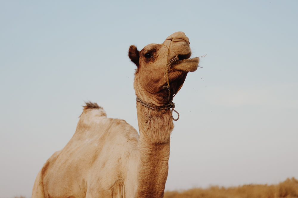 See Camels in India