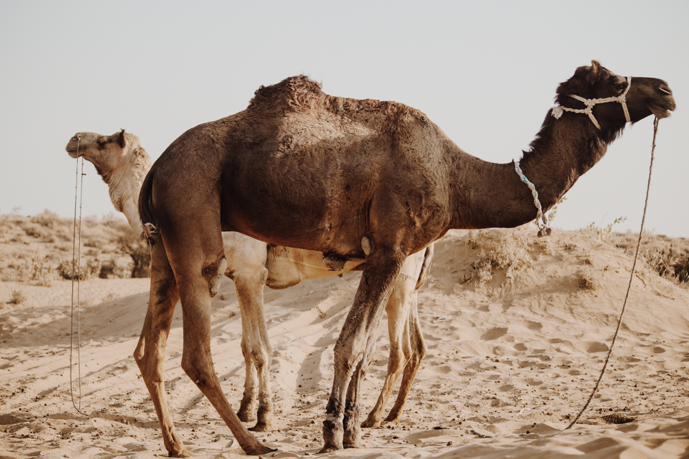 Watching camel, best things to do in India