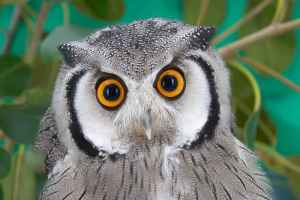 owl_southern_white_faced