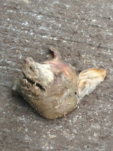 Pig's Head Left Outside the House of the Bradfordian Muslim female on the 14th of June 2013