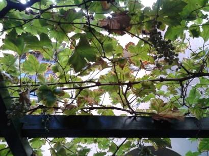 Uvas, en el Patio de la Casa Museo Lope de Vega