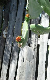 Cactus starting to flower