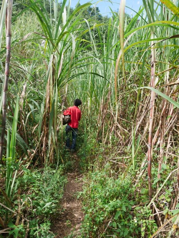 Trough the sugar cane plantation