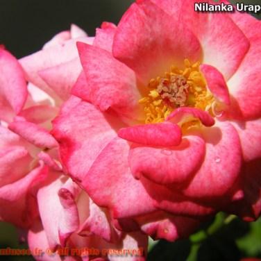 nilanka-urapelewwe-blog-voyage-sri-lanka-welimada-travel-blog-telunfusee-49