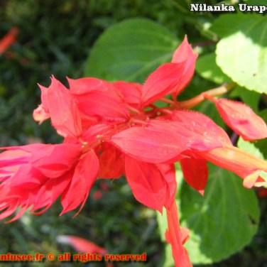 nilanka-urapelewwe-blog-voyage-srilanka-hakgala-garden-nuwara-eliya-travel-blog-telunfusee-6