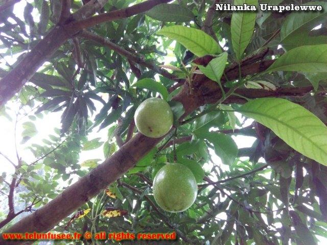 nilanka-urapelewwe-blog-voyage-sri-lanka-kalutara-travel-blog-telunfusee-2