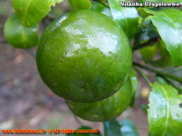 nilanka-urapelewwe-blog-voyage-sri-lanka-welimada-travel-blog-telunfusee-7