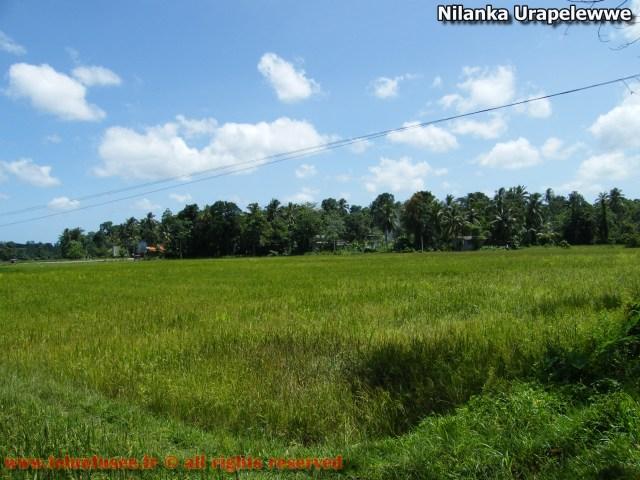 nilanka-urapelewwe-blog-voyage-telunfusee-gampaha-104-srilanka-travel-blog