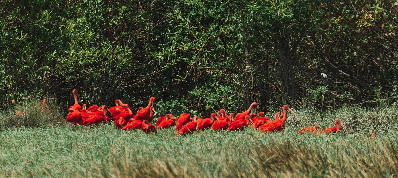 Guarás são uma das aves mais vistas da Ilha de Marajó