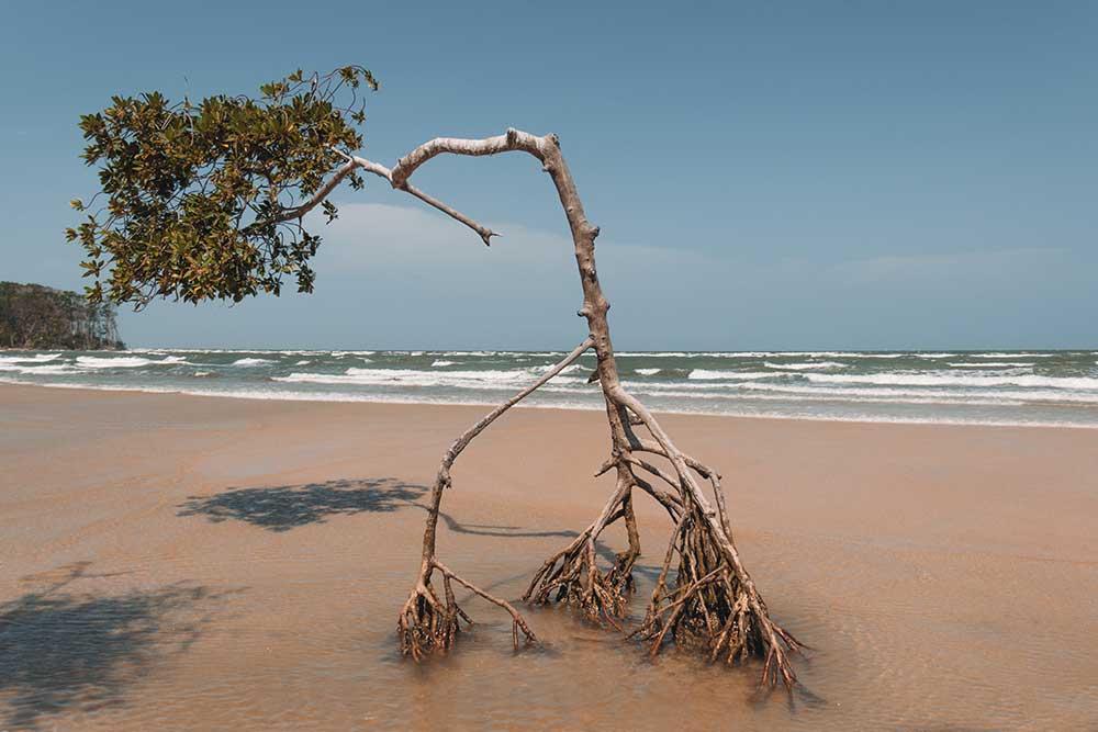 As árvores que ficam na beira da praia tem as raízes aéreas pois a água da Ilha de Marajó é uma mistura de água doce com salgada