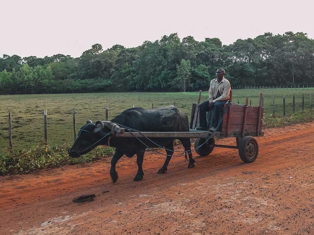 a ilha de marajó possui o maior rebanho de búfalos do país, eles estão em todas as partes