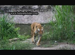 bali-safari2