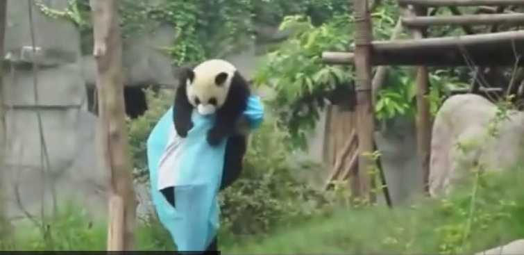 So Cute  Panda asks for hug to get down from tree    YouTube
