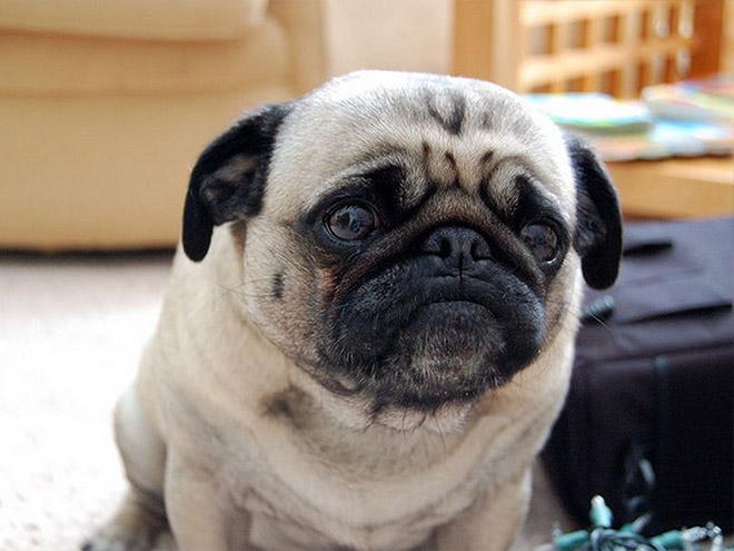 sad-pug1