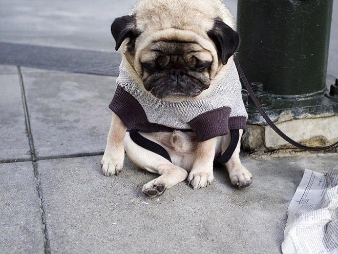 パグ犬のおもしろパグコスプレ画像