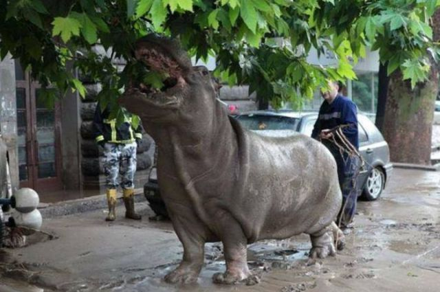 flooding_causes_zoo_animals_flee_the_tbilisi_zoo_12