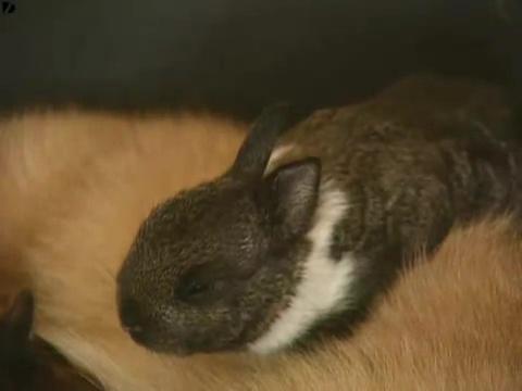 みなしごウサギも我が子同然に育てるお母さん猫03