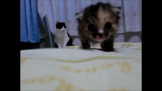03-よちよち歩きの仔猫の成長記録。だんだん歩くのが上手になってる(#゚ロ゚#)