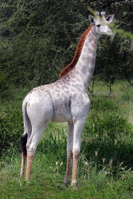 white-giraffe-leucism-albino-rare-animals-omo-tanzania-7
