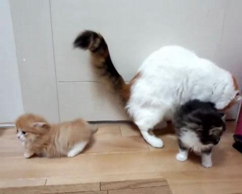 03「あわわわわっ」まさかのハプニング!マンチカンの子ネコさんがびっくりして倒れてしまう姿に駆けつけて抱きしめたくなる!