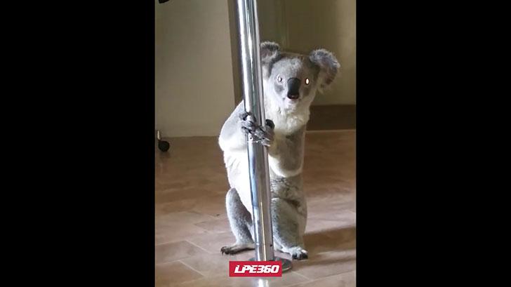 えっ!?えっ!?えっ!?帰宅すると家に野生のコアラが・・・しかもポールに登ろうとしている