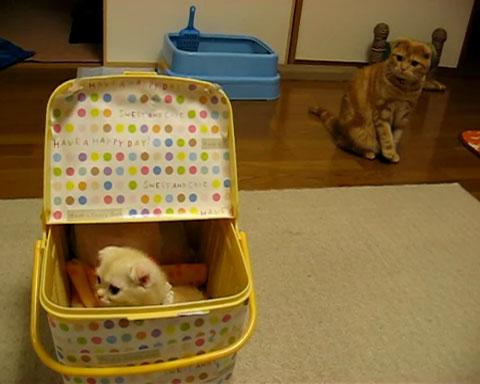 02「まいったにゃぁ~」いきなり新しく家にやってきた子ネコさんに先輩ネコさんがそわそわしてる・・・(笑)
