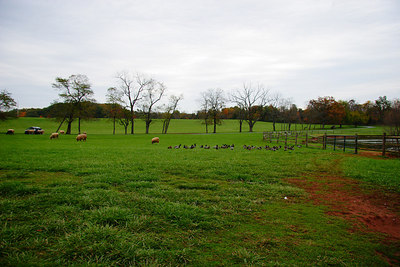 sheep, geese, and ducks at poplar spring