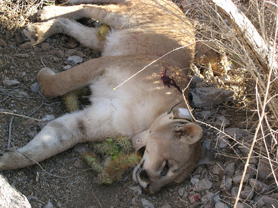 killed mountain lion at kofa sept 07