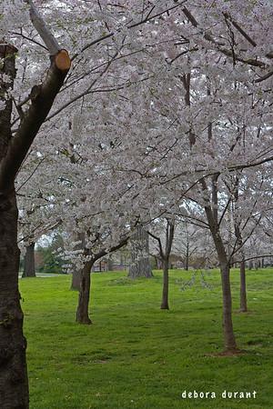 chery blossoms 2008