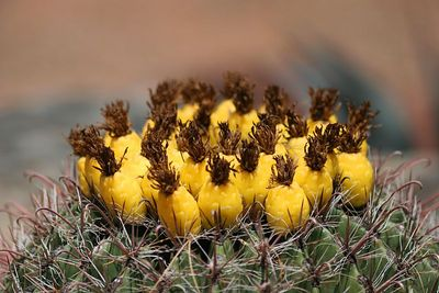barrel cactus in bloom
