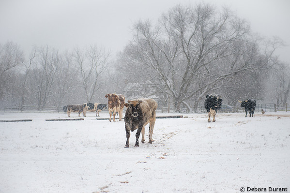 Bernard, Caryle, Charlotte and the herd in the snow