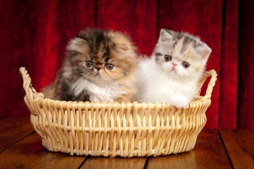 Exotic Shorthair kittens and cats • Temple Parlor