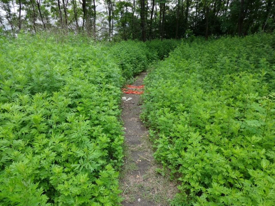 Desire Path facing the East River, June 2015