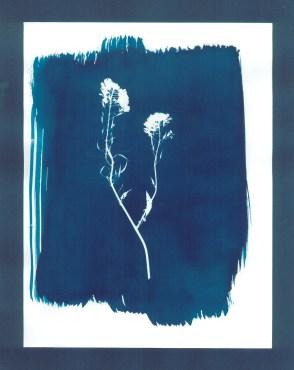 cyanotypes fleurs - 06